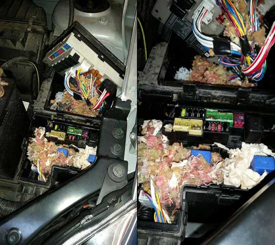 mouse nest in car fuse box mouse damange in car fuse box leo & sons auto repair fuse box car at crackthecode.co